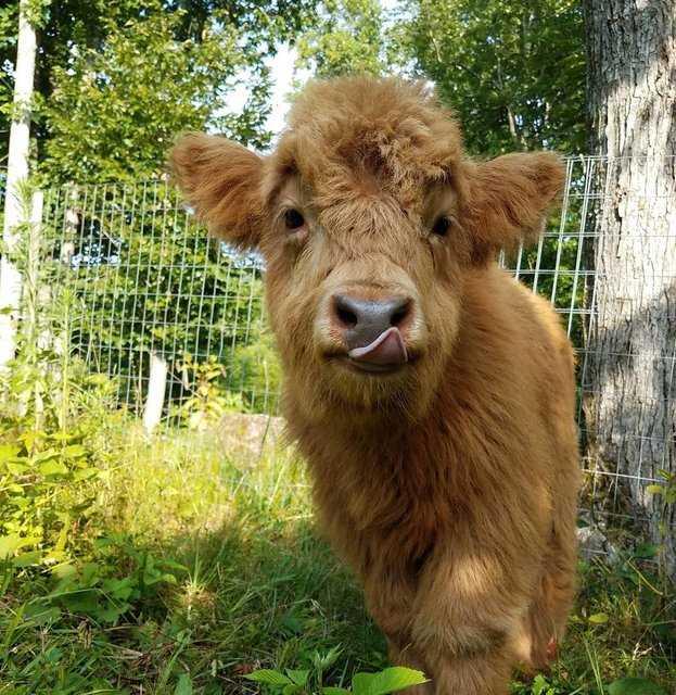 Нашли теленка, которого воспитали собаки