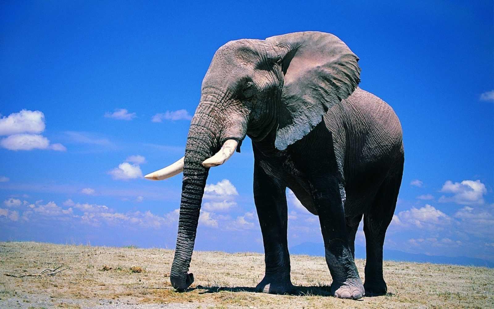 Слоны боятся мышей. Правда или выдумка?