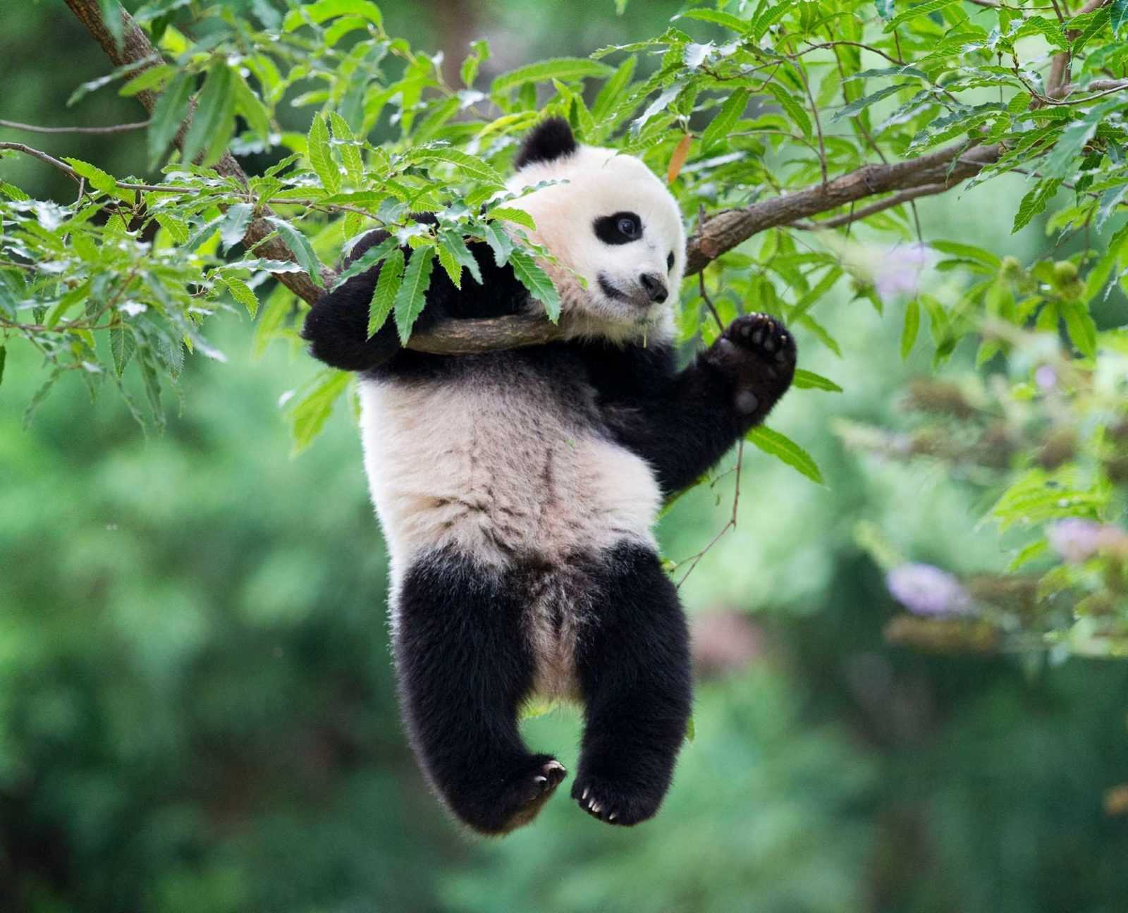 Окрас панды